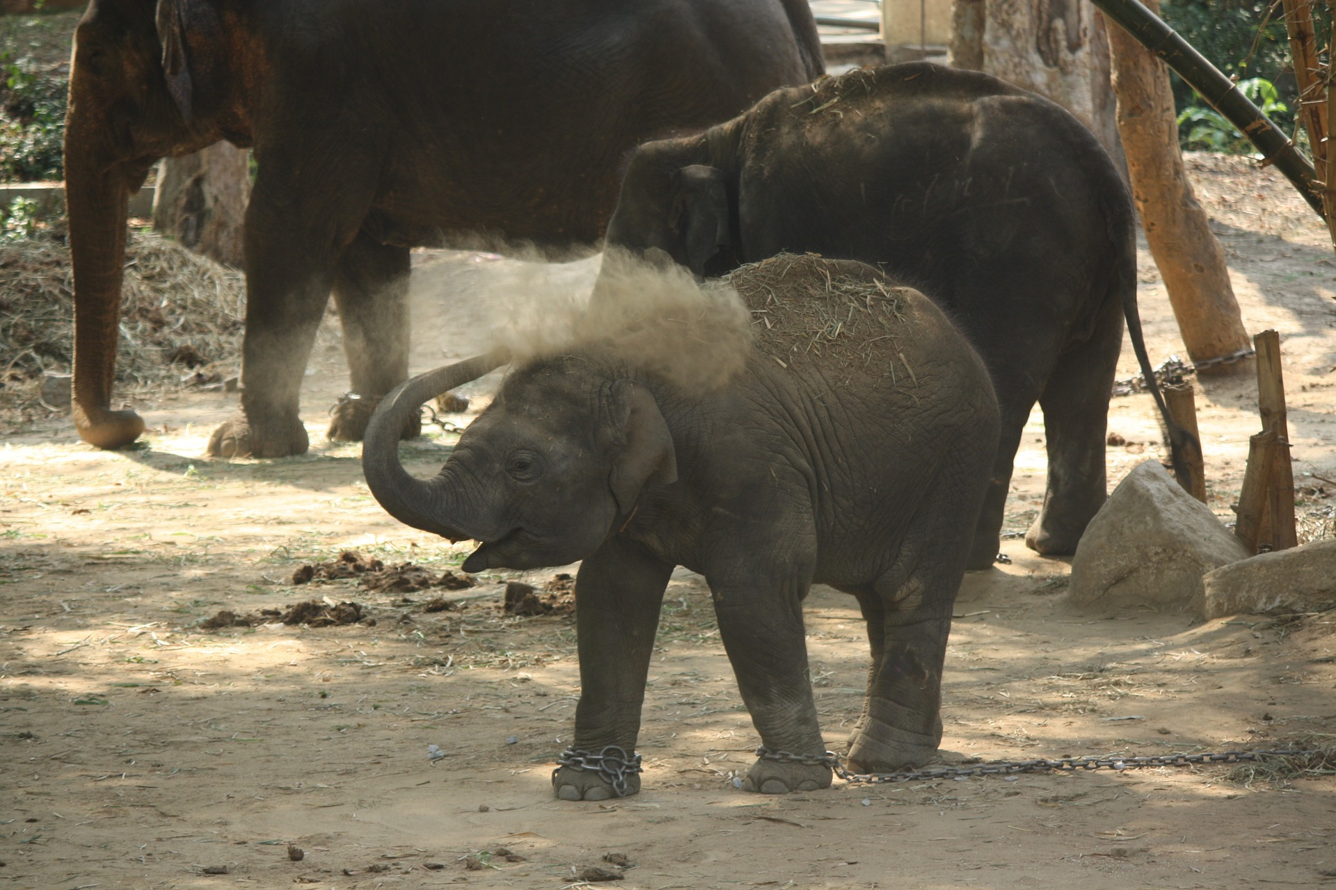 Chained elephant baby